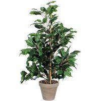 Ficus Exotica 65cm